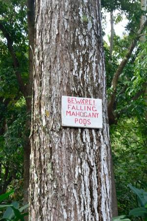 mahogany: falling mahogany pod sign Stock Photo