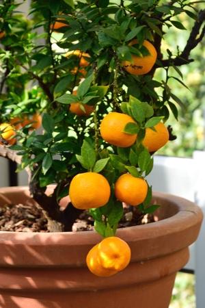 Oranges growing in pot Stock Photo