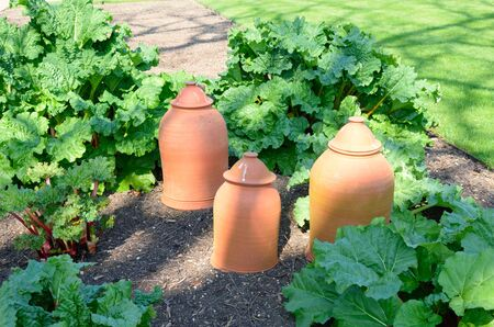 forcer: Rhubarb with forcing pots