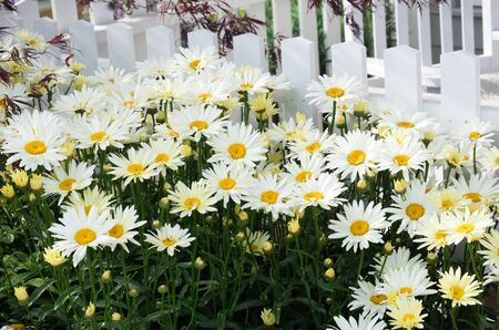 picket fence: Daisies by white picket fence