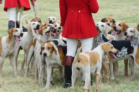 foxhunt: Foxhounds with hunter on foot