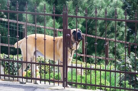 guard dog: Large guard Dog Behind Fence