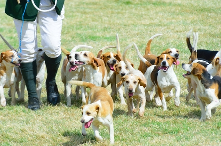 foxhunt: Pack of Beagles out hunting