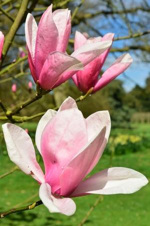 magnolia flowers: Pink Magnolia Flowers