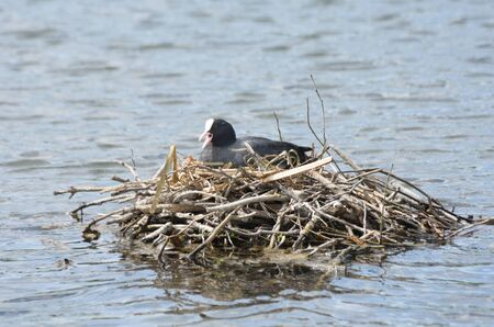 coot: Coot on nest in middle of lake