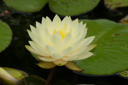 Large pale water lilly in pond