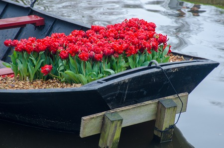 Bright Red Tulips on back of Boat Stock Photo