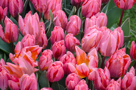 Large Group of bright pink tulips