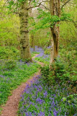 Path in forest bordered by Bluebells