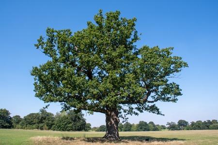 Large ancient Oak tree