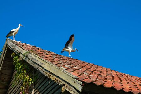 Two Storks on the roof of the old building Фото со стока