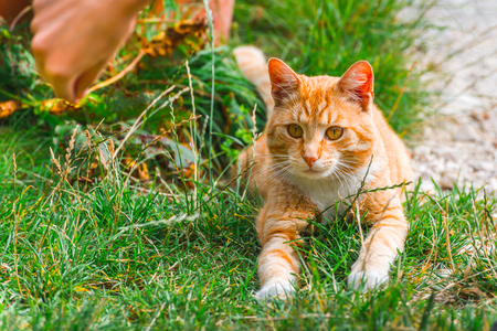 Red-headed cat playing with grass outdoors. Human hand attracts attention of playing cat 写真素材