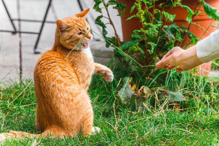 Playful cat catching grass in humans hand. Cat playing on the street 写真素材