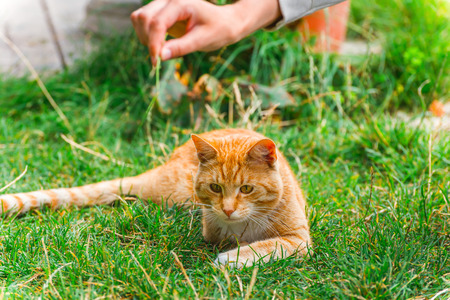 Red-headed cat hunting on blade grass