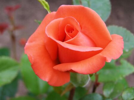 incarnadine rose      photo
