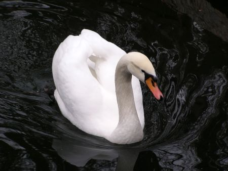white swan on the black water       photo