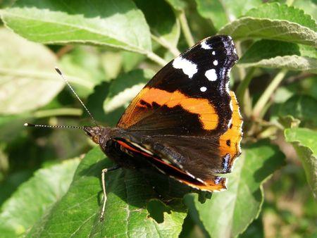 vanessa: Vanessa atalanta (Red Admiral) - butterfly   Stock Photo