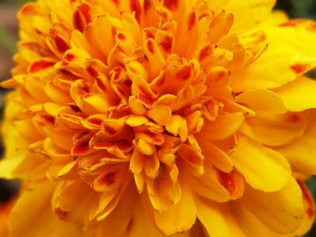 tagetes: big orange tagetes      Stock Photo