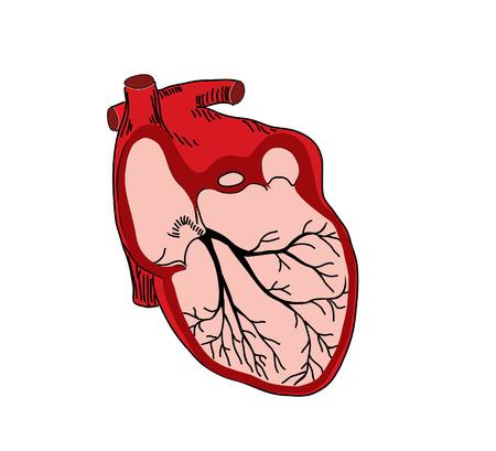 pumper: vector illustration of open heart Illustration