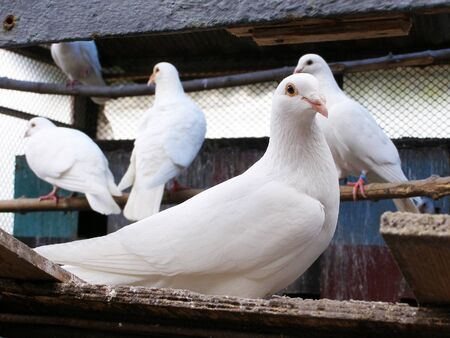 white pigeon: white doves in the dovecote