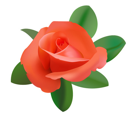 vector illustration of red rose      Stock Vector - 9109766