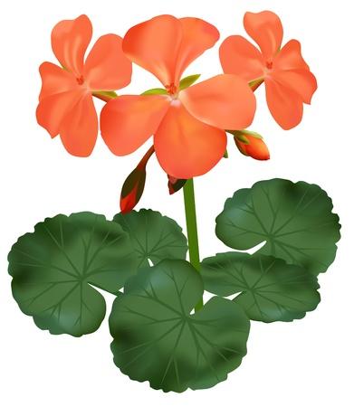 pelargonium: vector illustration of blooming geranium