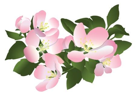 rosy: flowers of apple tree - vector