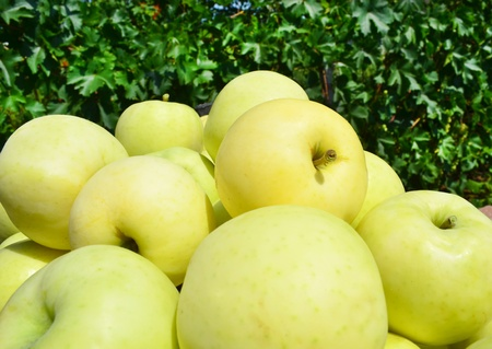yellow apple: harvested yellow apples