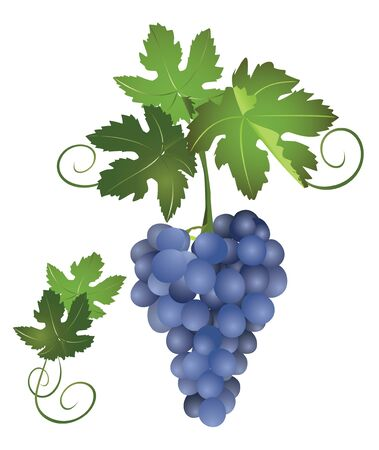 raceme: a bunch of blue grapes  Illustration
