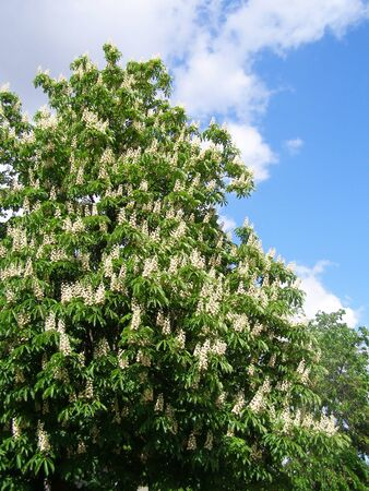 an inflorescence: chestnut tree with white flowers and blue sky