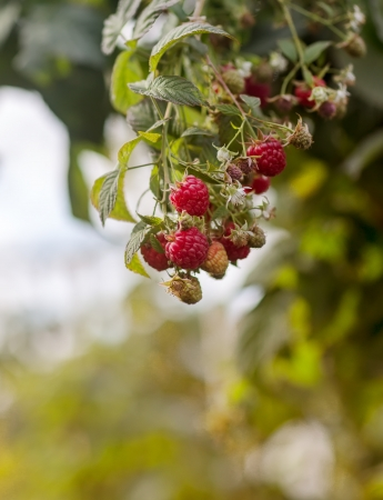 branch raspberry summer in garden Stock Photo - 16190237