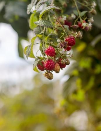 branch raspberry summer in garden Stock Photo - 16190237