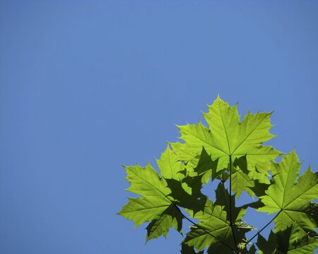 Maple branch and blue sky