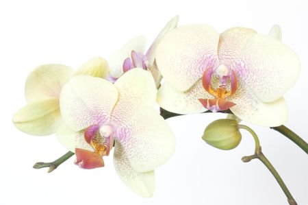 Beautiful orchid isolated on white Reklamní fotografie