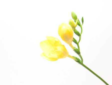 Beautiful freesia flowers over white background