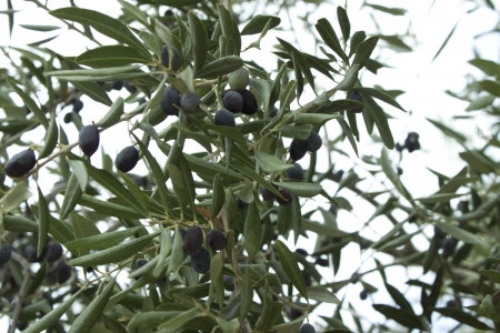 View on olive tree in Greece with olives