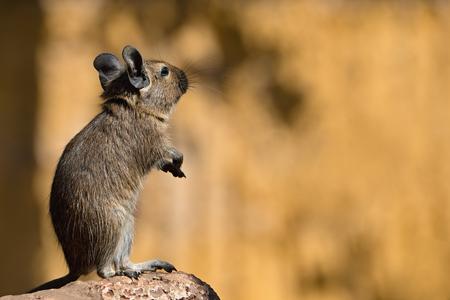 rata: rata sobre sus patas traseras