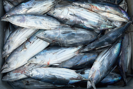 thunnus: Longtail tuna, box of fresh fish