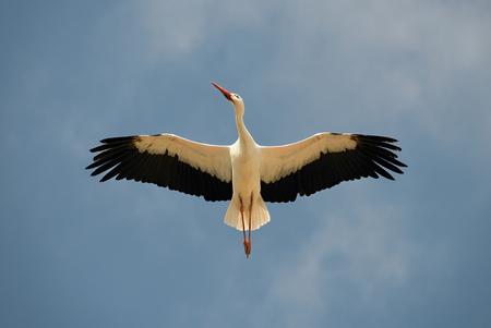 cicogna: Cicogna bianca in testa. Un magnifico cicogna bianca mostra la raffinatezza del suo piumaggio che passa sopra la testa.