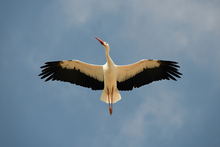 finery: White Stork overhead. A magnificent white stork shows the finery of its plumage as it passes overhead.