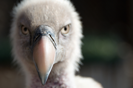 gyps: Eurasian griffon vulture portrait, Gyps fulvus