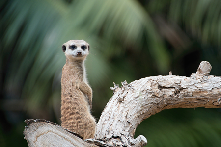 keep an eye on: Isolated Suricata Suricatta Meerkat looking up while standing on tree with green background