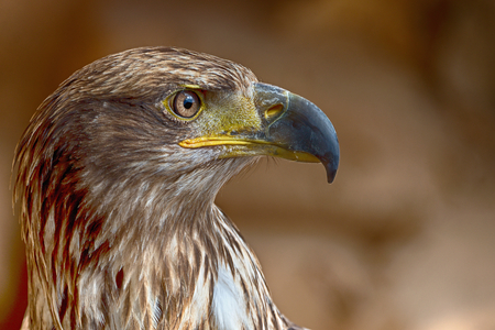 raptorial: Aquila chrysaetos.Portrait of a golden eagle