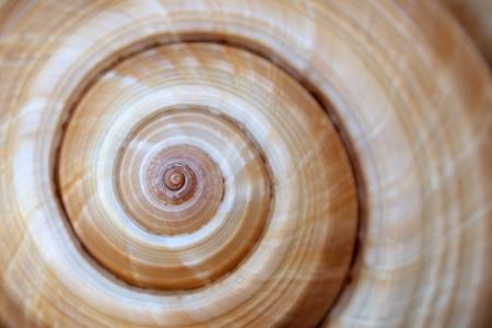 Large sea shell swirl,background ,close up