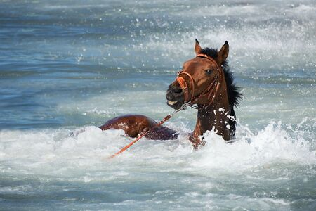bathed: A brown horse is bathed in the ocean in summer, floats in water Foto de archivo