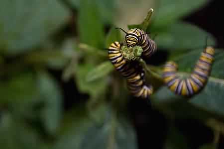 formosa: Monarch butterfly caterpillar feeding on milkweed plant on blossom