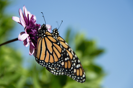 Two monarch butterflies are perched on a flower in the garden