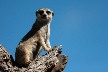 Meerkat, aka suricate, sitting upright on the tree trunk and watching around on alert