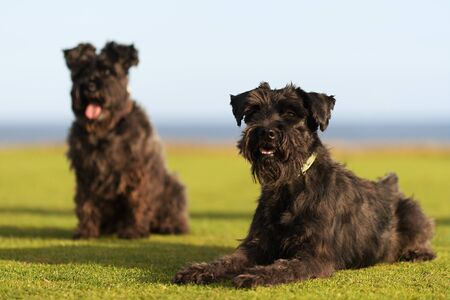 Two big black dogs Giant Schnauzer lies on the grass, with tongue out