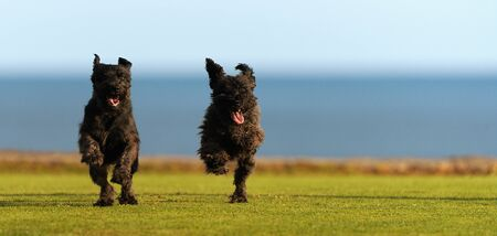 Two big black dogs Giant Schnauzer running on the grass, with tongue out